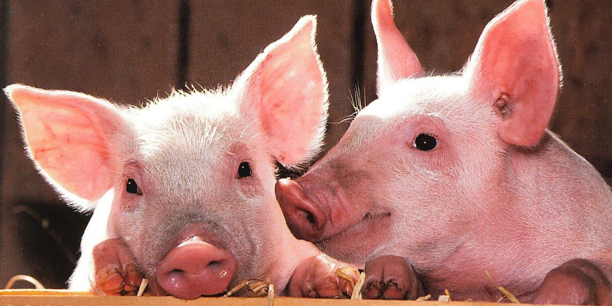 Come il maiale: la produzione di contenuti - Alessandro Principali